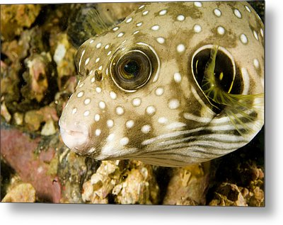 Closeup Of A White Spotted Puffer Fish Metal Print by Tim Laman
