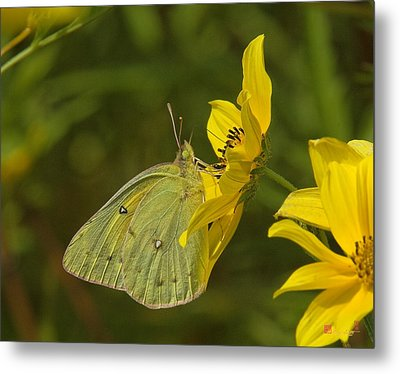 Clouded Sulphur Butterfly Din099 Metal Print by Gerry Gantt