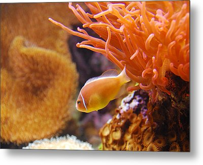 Clown Fish Metal Print by Anthony Citro
