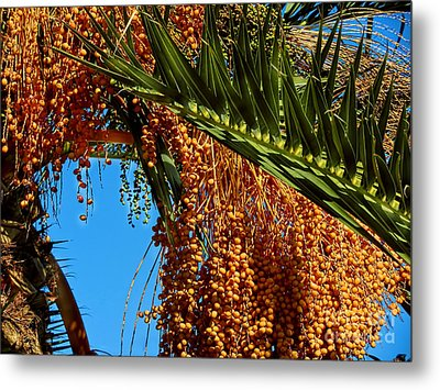 Metal Print featuring the photograph Cluster Of Dates On A Palm Tree  by Alexandra Jordankova