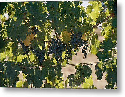 Clusters Of Grapes Hanging From Vines Metal Print by Michael S. Lewis