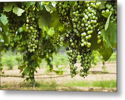 Clusters Of Grapes On The Vine At Fall Metal Print by James Forte