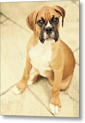 Clyde- Fawn Boxer Puppy Metal Print by Jody Trappe Photography