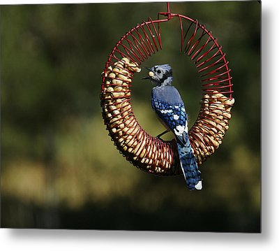 Co-8-12-home-bluejay1 Metal Print