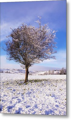 Co Antrim, Ireland Hawthorn Tree Known Metal Print by The Irish Image Collection