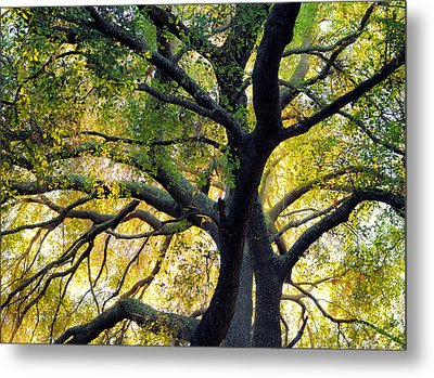 Coast Live Oak Metal Print