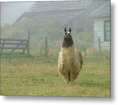 Metal Print featuring the photograph Coast Llama by Wendy McKennon