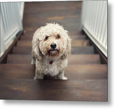 Cockapoo Dog Metal Print by Jody Trappe Photography