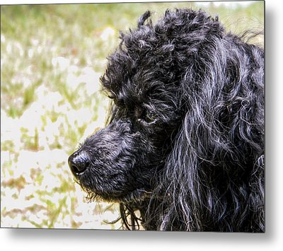 Metal Print featuring the photograph Coco Poodle by Ester  Rogers