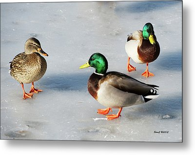Metal Print featuring the photograph Cold Ducks by Stephen  Johnson
