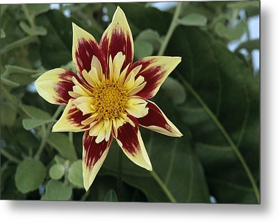 Collerette Dahlia Metal Print by Archie Young