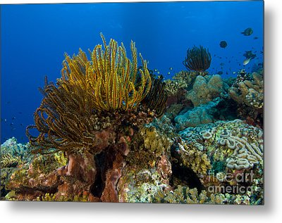 Colony Of Crinoids, Papua New Guinea Metal Print by Steve Jones