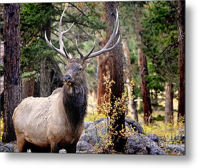Metal Print featuring the photograph Colorado Elk by Nava Thompson