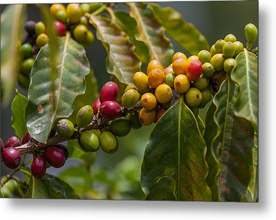 Colorful Coffee Beans Metal Print by Craig Lapsley