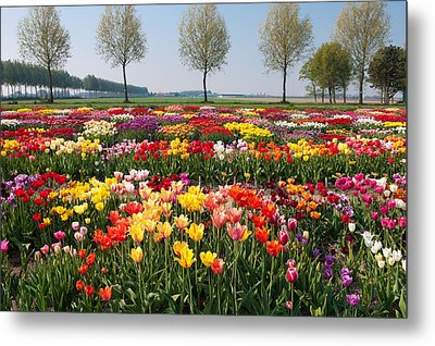 Metal Print featuring the photograph Colorful Tulips by Hans Engbers