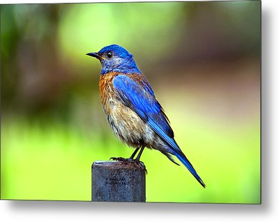 Colorful - Western Bluebird Metal Print by James Ahn