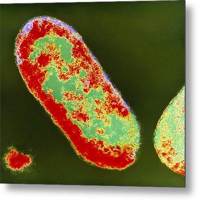 Coloured Tem Of Shigella Sp. Bacteria Metal Print by London School Of Hygiene & Tropical Medicine