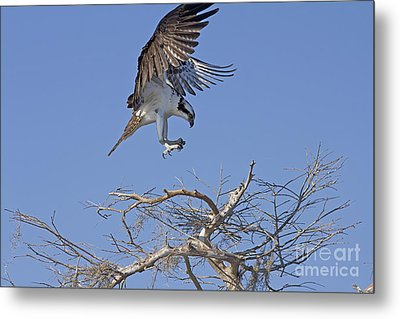 Coming In For A Landing Metal Print by Anne Rodkin