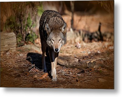 Coming Right At You Metal Print by Karol Livote