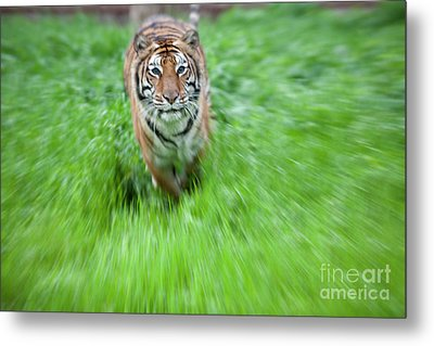 Coming To Get You Metal Print by Keith Kapple