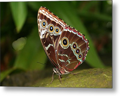 Metal Print featuring the photograph Common Blue Morpho by Laurel Talabere