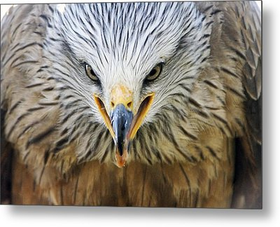 Common Buzzard Metal Print by Chris Hellier