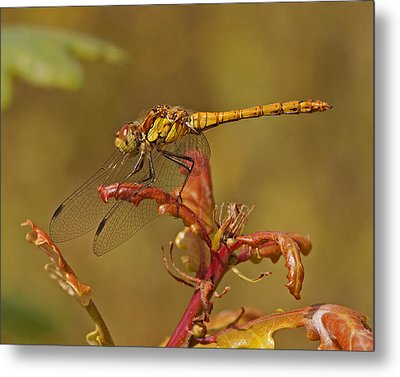 Metal Print featuring the photograph Common Darter 2 by Paul Scoullar