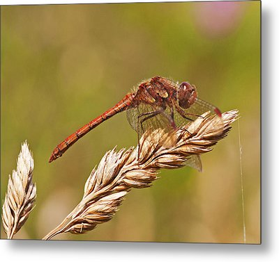Metal Print featuring the photograph Common Darter by Paul Scoullar
