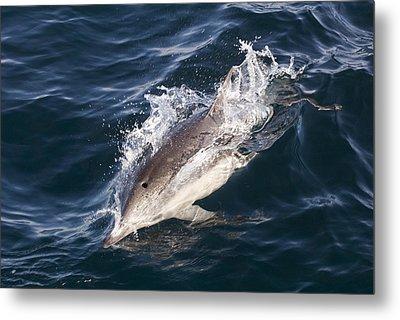 Common Dolphin Delphinus Delphis Metal Print by Rich Reid