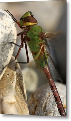 Common Green Darner Dragonfly Metal Print by Juergen Roth