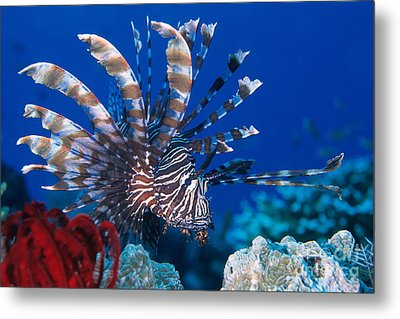 Common Lionfish Metal Print by Franco Banfi and Photo Researchers