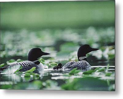 Common Loon Gavia Immer Mated Couple Metal Print by Michael Quinton