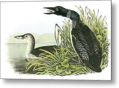 Common Loon Metal Print by John James Audubon