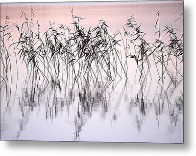 Common Reeds Metal Print by Jouko Lehto