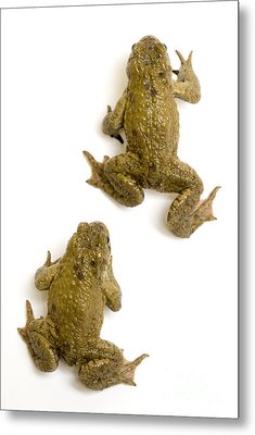 Common Toad Metal Print by Mark Bowler and Photo Researchers