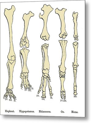 Comparison Of Animal Feet, Historical Art Metal Print by Sheila Terry