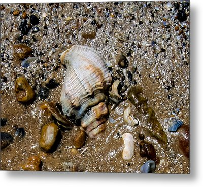 Conch Metal Print by Toma Caul
