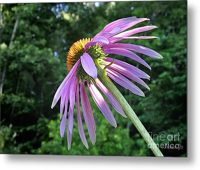 Metal Print featuring the photograph Cone Flower Sunrise by Nava Thompson