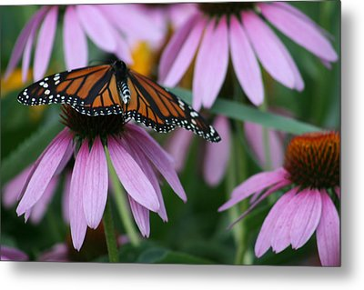 Metal Print featuring the photograph Cone Flowers And Monarch Butterfly by Kay Novy
