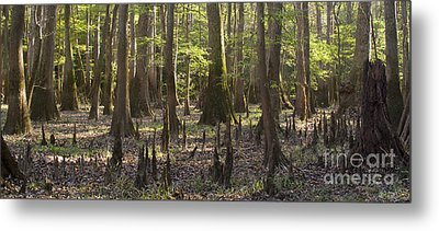Congaree National Park  Metal Print by Dustin K Ryan