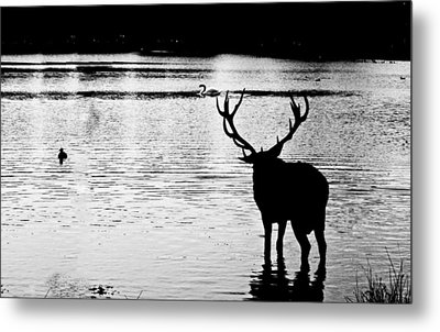 Metal Print featuring the photograph Cooling Off Deer by Maj Seda