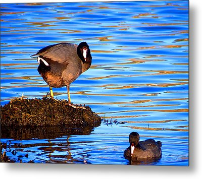 Coots Metal Print by Catherine Natalia  Roche