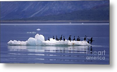 Metal Print featuring the photograph Cormorants On Ice Floe - Glacier Bay Alaska by Craig Lovell