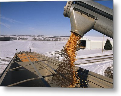 Corn Pours From An Auger Into A Grain Metal Print by Joel Sartore