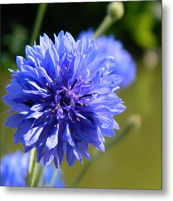 Cornflower Blue Metal Print by Sharon Lisa Clarke