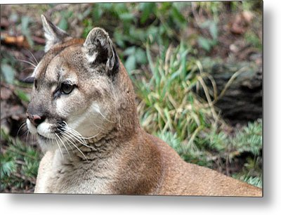 Cougar - 0006 Metal Print by S and S Photo