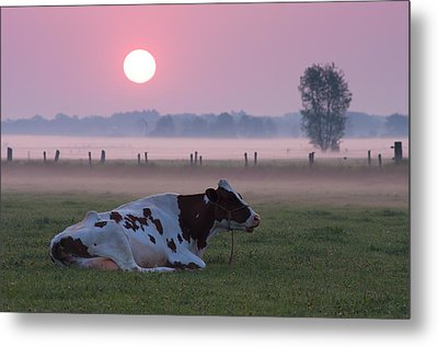 Cow In Meadow Metal Print by Hans Engbers