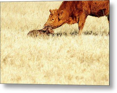 Cow Smelling Newborn Calf Metal Print by ©Debbie Prediger Photography