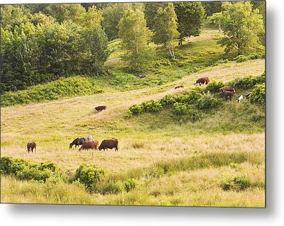 Cows Grazing In Field Rockport Maine Metal Print by Keith Webber Jr