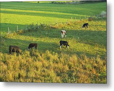 Cows Grazing In Late Day Light On Farm Maine Metal Print by Keith Webber Jr
